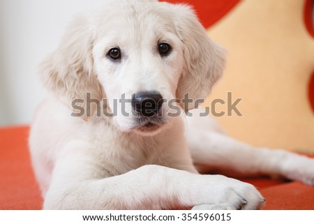 Portrait of golden retriever puppy lying on the flour at room