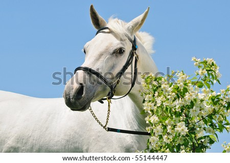Portrait of gray Arabian horse against blue sky