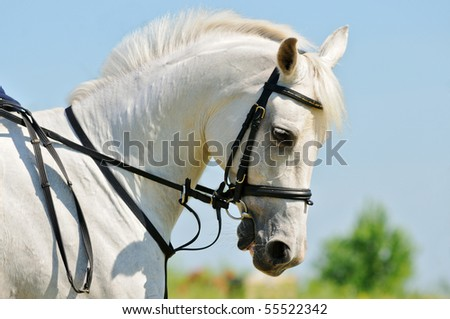 Portrait of gray Arabian sportive horse