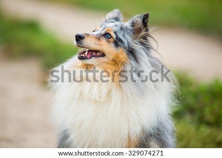 Portrait of gray dog with blue eyes breed sheltie - stock photo