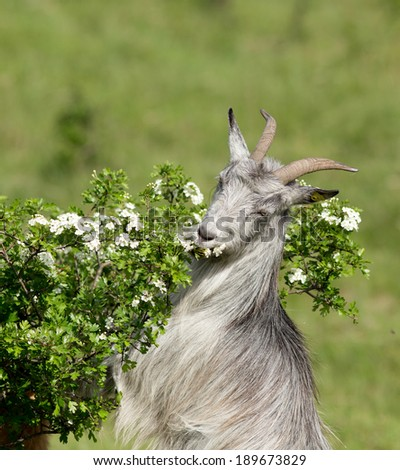 Portrait of gray goat eating leaves from branch - stock photo
