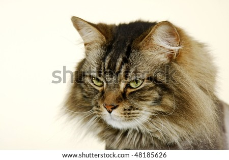 Portrait of Gray Persian Cat Isolation