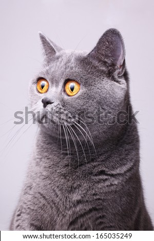 Portrait of gray shorthair British cat with bright yellow eyes on a white background - stock photo