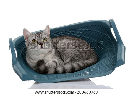 Portrait of gray shothair cat looking something isolated on white background
