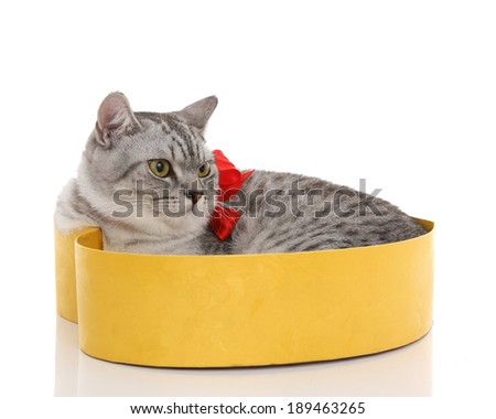 Portrait of gray shothair cat looking something sleep in box with red bow