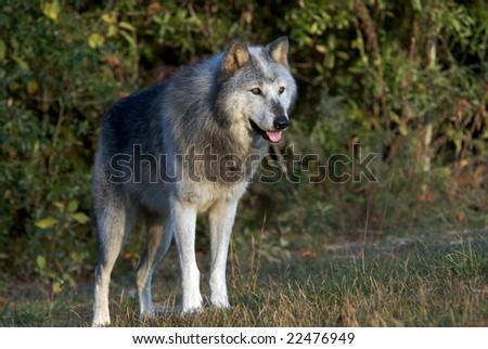 Portrait of gray wolf. - stock photo