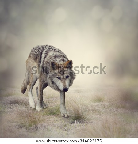 Portrait of Gray Wolf Walking - stock photo