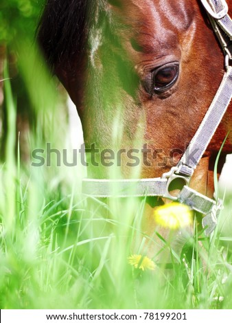 portrait of grazing bay horse closeup - stock photo