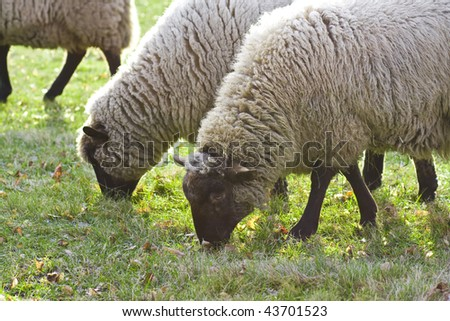 Portrait of grazing sheep on green grass background - stock photo
