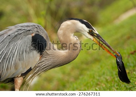 Portrait of Great blue heron (Ardea herodias) eating fish - stock photo