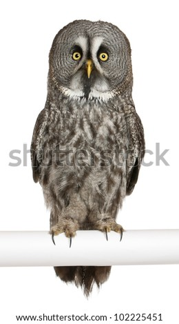 Portrait of Great Grey Owl or Lapland Owl, Strix nebulosa, a very large owl, perching in front of white background - stock photo
