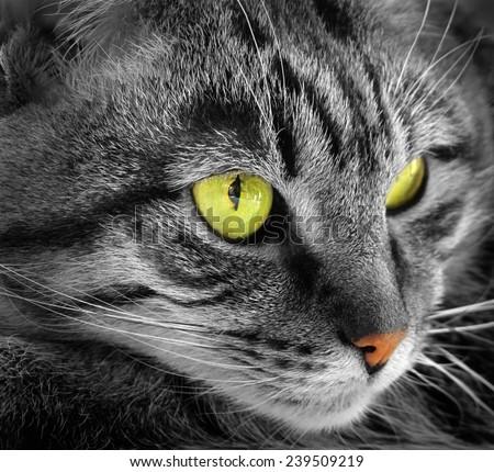 Portrait of green-eyed cat                                             - stock photo