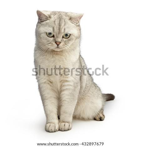 Portrait of green-eyed cat isolated on white background. Gray British Shorthair. - stock photo