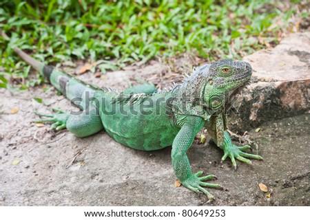 Portrait of Green Iguana - stock photo