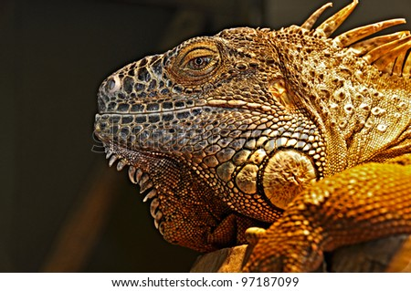 Portrait of green iguana. - stock photo