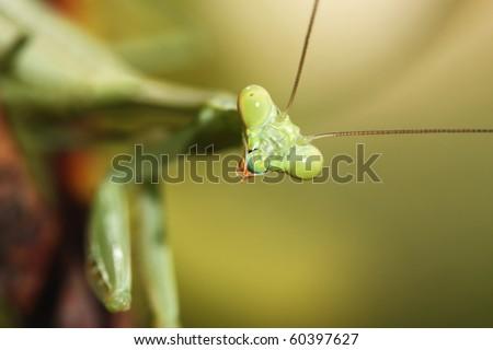 Portrait of green praying mantis - stock photo