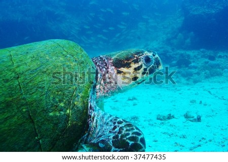 portrait  of green turtle - stock photo