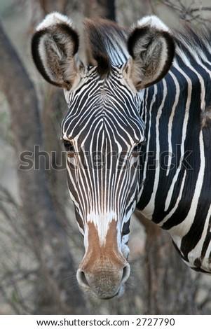 Portrait of Grevy's Zebra - stock photo