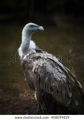 Portrait of Griffon Vulture - stock photo