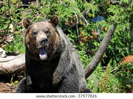 portrait of grizzly bear growling - stock photo