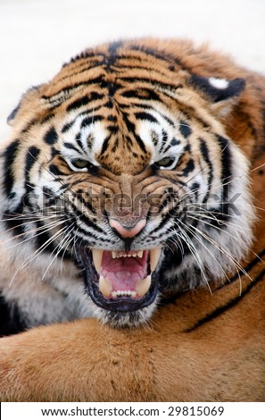 Portrait of growling tiger - stock photo