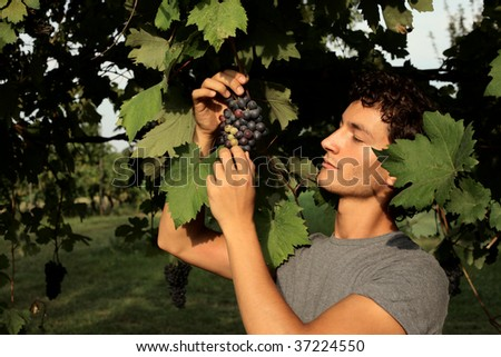 portrait of guy controlling grapes in a vineyard