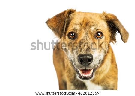 Portrait of happy and smiling Plott Hound crossbreed dog looking into camera with blank white space for text
