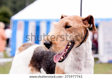 Portrait of happy fox terrier in summer - stock photo
