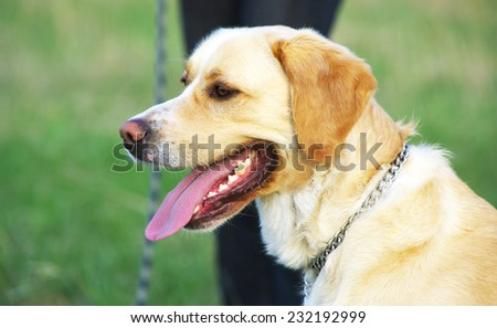 Portrait of happy yellow labrador labrador  - stock photo