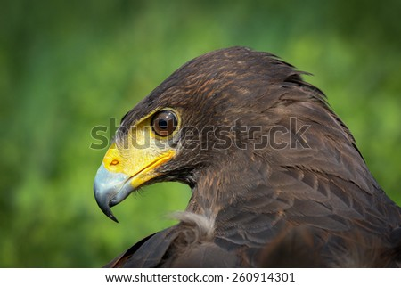 Portrait of Harris Hawk - stock photo