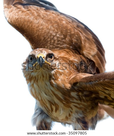 Portrait of hawk on white background - stock photo