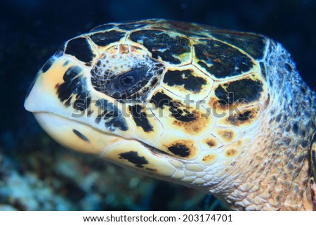 Portrait of Hawksbill sea turtle (Eretmochelys imbricata) in the caribbean sea  - stock photo