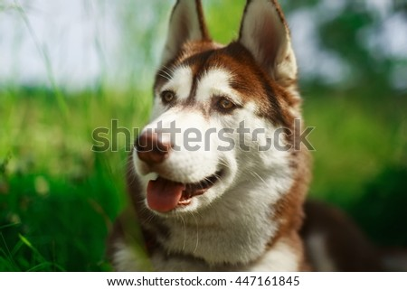 Portrait of heavy breathing Siberian husky dog. Brown fur and eyes. Cute domestic breed, good for family and kids - stock photo
