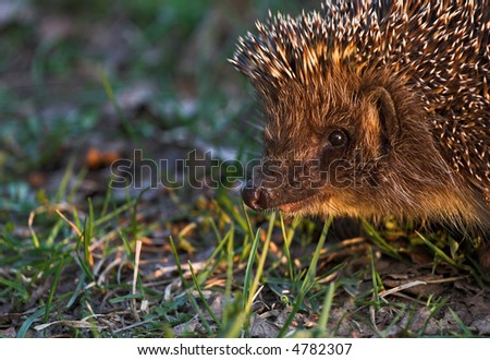 Portrait of hedgehog