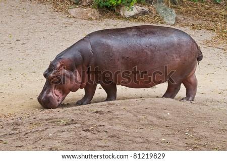 Portrait of hippopotamus in the zoo, Thailand. - stock photo