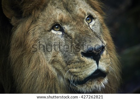 Portrait of huge beautiful old male African lion against black background