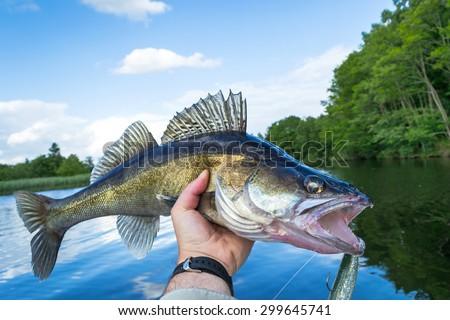 Portrait of huge walleye in angler hand - stock photo