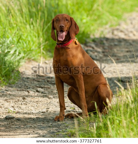 Portrait of Hungarian Vizsla dog sitting on the road, Hungarian-Short haired Pointing Dog - stock photo
