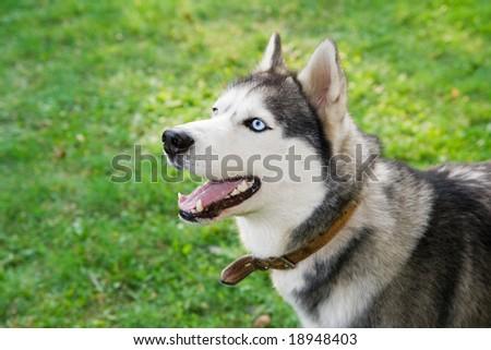 portrait of husky - stock photo