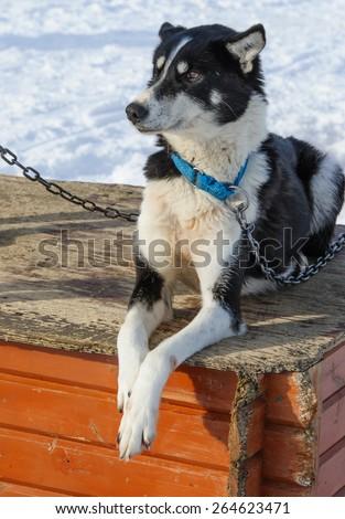 Portrait of husky dog, Tromso, Norway - stock photo