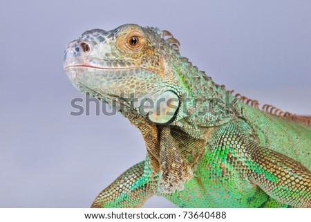 portrait of iguana - stock photo