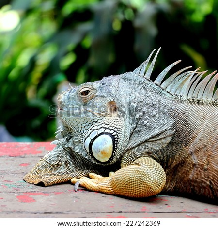 Portrait of Iguana Resting on Wooden Table  - stock photo