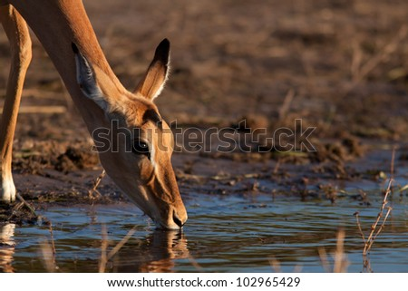 portrait of impala - stock photo