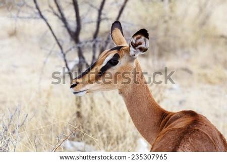 Portrait of Impala antelope in Etosha national Park, Namibia - stock photo