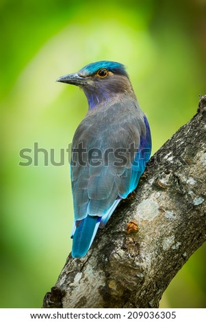 Portrait of Indian roller(Coracias benghalensis) in nature of Thailand  - stock photo
