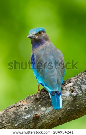 Portrait of Indian roller(Coracias benghalensis) turn to look at us in nature of Thailand - stock photo