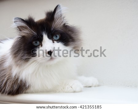 Portrait of Intense Beautiful Long Haired Bi-Color Brown White Blue Eyed Ragdoll Cat with a black button nose - stock photo