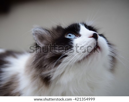 Portrait of Intense Beautiful Wise Long Haired Bi-Color Brown White Blue Eyed Ragdoll Cat with a black button nose and Long Whiskers Looking Gazing Up - stock photo