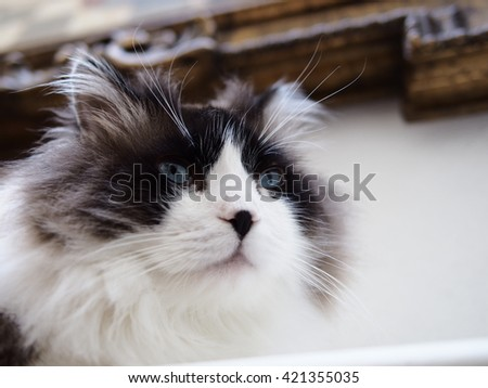 Portrait of Intense Beautiful Wise Long Haired Bi-Color Brown White Blue Eyed Ragdoll Cat with a black button nose and Long Whiskers - stock photo
