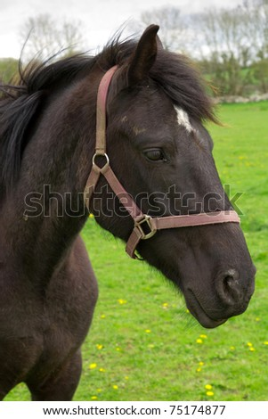 Portrait of irish black horse on the meadow